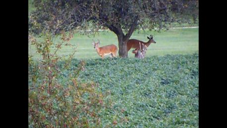 deer_apple_tree